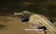 Alligator nedir