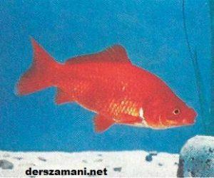 Havuz Balığı ve Çeşitleri Hakkında Bilgi