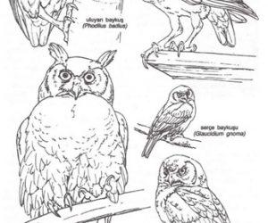 Baykuşların Özellikleri ve Türleri Hakkında Bilgi