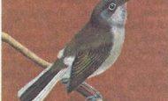 Bal Kılavuzu Kuşları