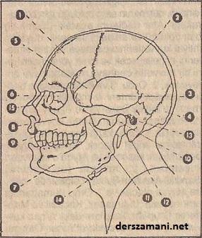 yuz-kemikleri