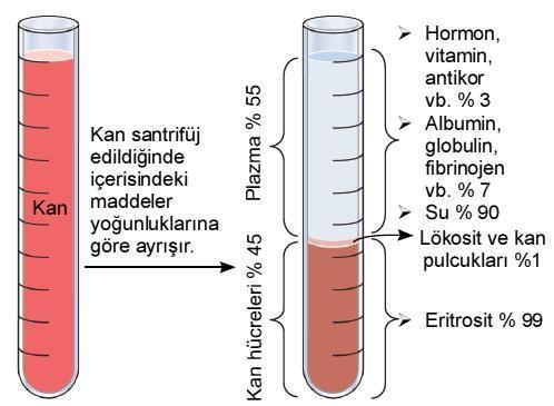 kanın yapısı ve görevleri