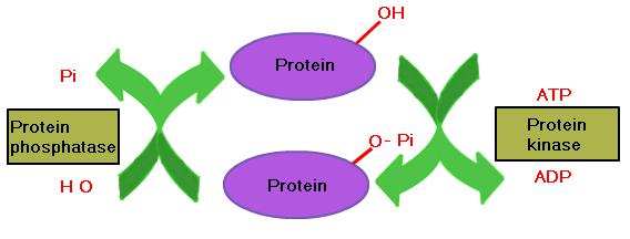 fosforilasyon