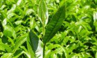 Çay Fabrikaları Hangi Bölgelerde Bulunur