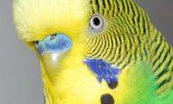 Muhabbet Kuşları Nasıl Konuşur