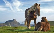 Atların Barınma ve Çoğalma Şekli