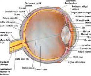 Gözün Yapısı Hakkında Bilgi