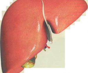 Karaciğer Görevi Nerede Bulunur
