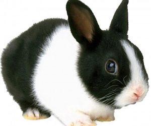 Tavşan Hakkında Bilgi Kısa