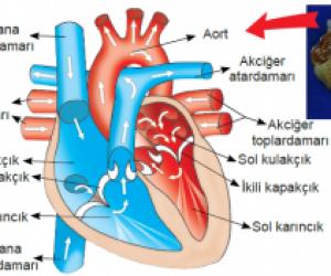 Kalbin Çalışması Kısaca