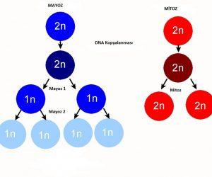 Mitoz Bölünme ve Mayoz Bölünme Arasındaki Fark Nedir
