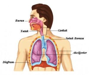 solunum-sistemi-organlari