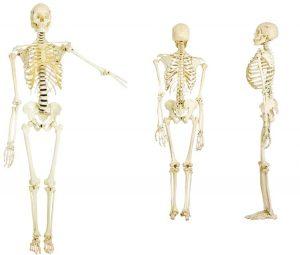 224_skeletal