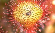 Güneş Gülü Bitkisi Hakkında Bilgi