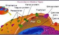 Hücre Zarının Görevleri