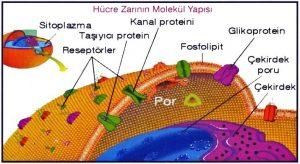 hucre-zarinin-molekul-yapisi-2_1