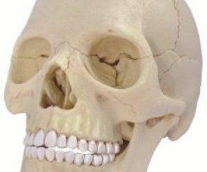 Kafatası Kemikleri Nasıl Kemiklerdir Hangi Çeşittir?
