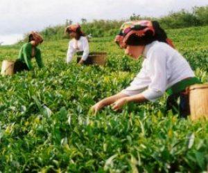 Ülkemizde Çayın Sadece Rize'de Yetiştirilmesinin Nedeni Nedir