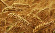 Buğday Hangi İklimde Yetişir Koşulları