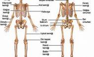 Kemik Çeşitleri Ve Özellikleri Nelerdir?