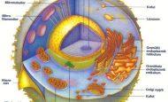 Hayvan Hücresinde Bulunan Organeller Ve Görevleri Kısaca