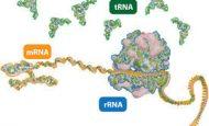 RNA'nın Özellikleri Ve Görevleri Nelerdir?