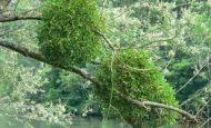 Yarı Parazit Ve Tam Parazit Bitkilerin Özellikleri Nelerdir?