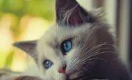Kedilerin Özellikleri Nelerdir Maddeler Halinde