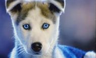 Köpeklerin Özellikleri Nelerdir Maddeler Halinde