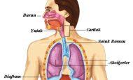 Solunum Sistemi İle İlgili Sorular Ve Cevapları