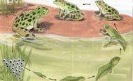 Kurbağalarda Başkalaşım Nasıl Gerçekleşir?
