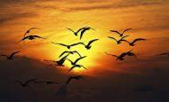 Kuşlar Neden Göç Eder Kısaca