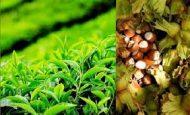 Çay Ve Fındık Neden Karadeniz Bölgesinde Yetişir?