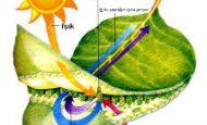 Bitkiler Işık Enerjisini Kullanarak Ne Yaparlar?