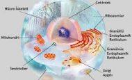 Prokaryot Ve Ökaryot Hücreler Arasındaki Farklar Nelerdir?