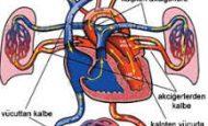 Kanın Kalpten Çıktıktan Sonra Doku Ve Organlara Geçmesi, Sonra Tekrar Kalbe Dönmesi Nasıl Adlandırılır?