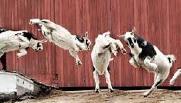 Keçileri Kaçırmak Deyiminin Anlamı ve Hikayesi Kısaca